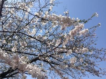 20170503桜2分咲き.jpg
